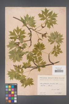 Acer platanoides [KOR 2388]