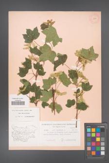 Acer campestre [KOR 11274]