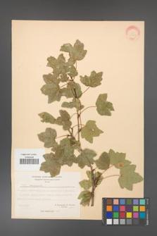 Acer campestre [KOR 20824]