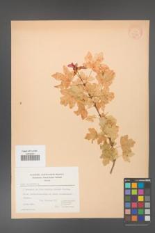 Acer campestre [KOR 20827]
