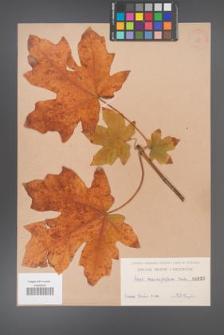 Acer macrophyllum [KOR 155]