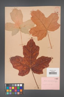 Acer macrophyllum [KOR 153]