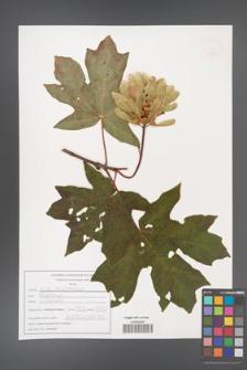 Acer macrophyllum [KOR 47592]