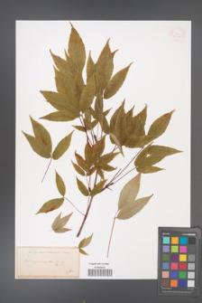Acer mandshuricum [KOR 33426]