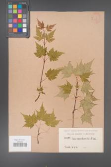 Acer micranthum [KOR 176]