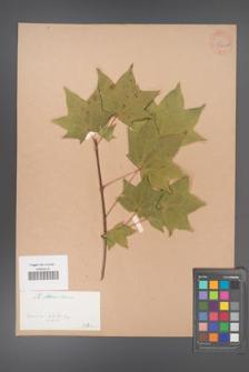 Acer mono [KOR 33432a]