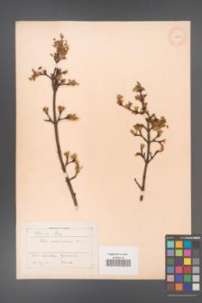 Acer monspessulanum [KOR 11397a]