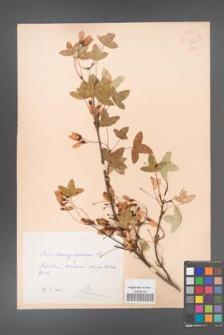 Acer monspessulanum [KOR 11405]