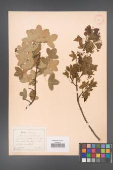 Acer monspessulanum [KOR 11411]