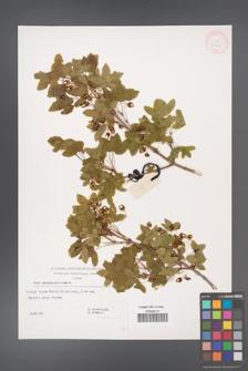 Acer monspessulanum [KOR 32523]