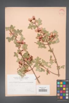 Acer monspessulanum [KOR 30088]
