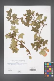 Acer monspessulanum [KOR 46427]