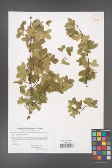 Acer monspessulanum [KOR 43776]