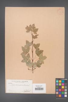 Acer monspessulanum [KOR 31]