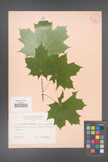 Acer platanoides [KOR 7423]