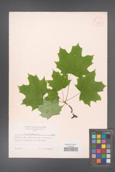 Acer platanoides [KOR 7425]