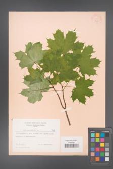 Acer platanoides [KOR 7428]