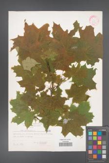 Acer platanoides [KOR 6091]