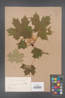 Acer platanoides [KOR 30]