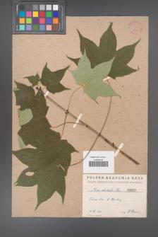 Acer lobelii [KOR 2a]