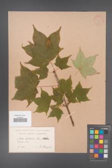 Acer lobelii [KOR 1a]