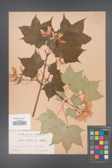Acer lobeli [KOR 8a]
