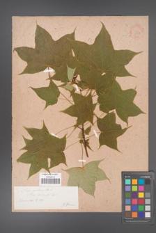 Acer lobelii [KOR 33422]