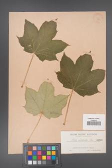 Acer lobelii [KOR 6a]