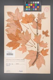 Acer lobelii [KOR 9a]