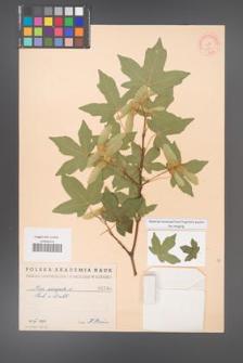 Acer campestre [KOR 1246]