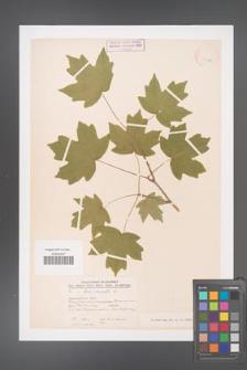 Acer campestre [KOR 11323]