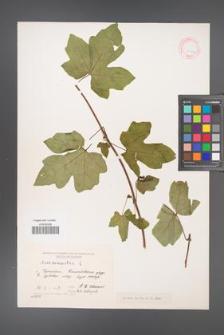 Acer campestre [KOR 11334]