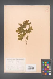 Acer campestre [KOR 11298]