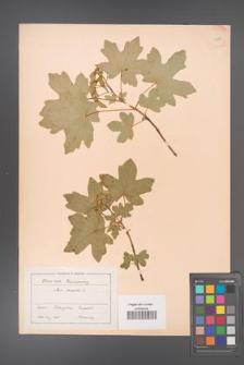 Acer campestre [KOR 11296]