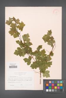 Acer campestre [KOR 11311]