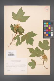 Acer campestre [KOR 38895]