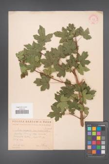 Acer campestre [KOR 11317]