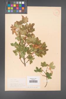 Acer campestre [KOR 11285]