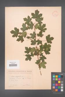 Acer campestre [KOR 11324]