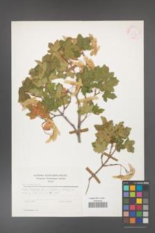 Acer campestre [KOR 25481]
