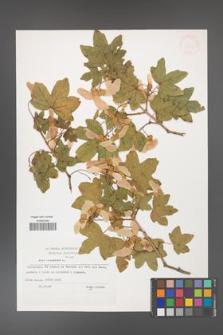Acer campestre [KOR 32988]