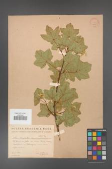 Acer campestre [KOR 1789]