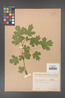 Acer campestre [KOR 1680]