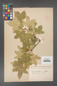 Acer campestre [KOR 1251]