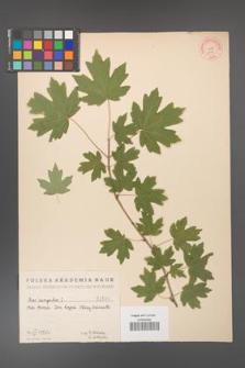 Acer campestre [KOR 1646]