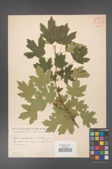 Acer campestre [KOR 1648]