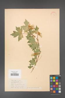 Acer campestre [KOR 11309]