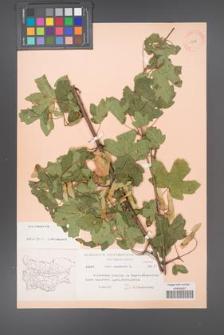 Acer campestre [KOR 11278]