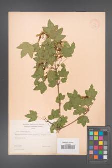 Acer campestre [KOR 11332]