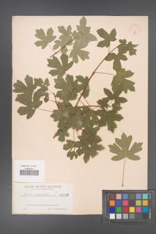 Acer campestre [KOR 129]